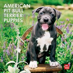American Pit Bull Terrier Puppies Wall Calendar: The Pit Bull puppies in this calendar represent the true nature of this devoted breed. With loving and responsible rearing Pit Bull puppies will grow up to be gentle, loving and courageous pet companions.  $14.99  http://www.calendars.com/Pit-Bulls/American-Pit-Bull-Terrier-Puppies-2013-Wall-Calendar/prod201300004571/?categoryId=cat10047=cat10047#