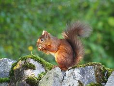 Time with the red squirrels of Eden Valley, Cumbria by the Bald Hiker