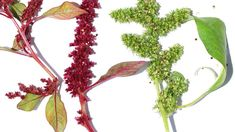 Amaranthus cruentus (the species that is both a seed and vegetable) is known as both easy-to-grow and nutritious and is among the highest-yielding leaf vegetables of the tropics. Leaf Vegetable, Vegetable Garden, Texas Plants, Amaranthus, Market Garden, Wild Edibles, Sustainable Food, Edible Plants, Permaculture