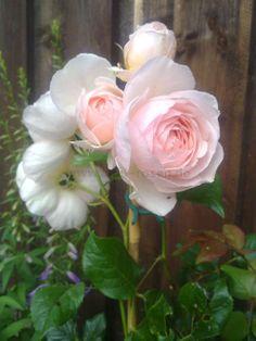 Buy rose 'Ausblush' » English Roses » Modern Roses » Garden Roses (bare root Roses) | Agel Rosen Online Shop