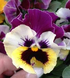 booskijkende viooltjes flower drawings pinterest blumen. Black Bedroom Furniture Sets. Home Design Ideas