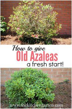 Pruning azaleas can give tired, old azalea plants a fresh start. It\'s so easy! #gardening #azaleas via The Kitchen Garten| Gardening, Fresh Recipes, and More!