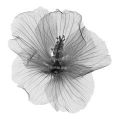 X-ray image of a hibiscus flower (Hibiscus, top view, black on white) by Jim…