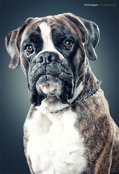 Beautiful dog portraits by Daniel Sadlowski, via Behance. Love this boxer portrait.