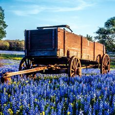 Each spring Texas Bluebonnets prove why they're the official flower of the Lone Star State. We've got answers to FAQs. Spring Texas, Texas Bluebonnets, Blue Bonnets, Wild Flowers, The Unit, Landscape, Writers, Garden, Instagram