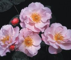 """Clair Matin® - A CLIMBING ROSE - An outstanding repeat blooming rose. It produces large clusters of exquisite, 5"""", semi-double blooms of clear, soft pink with deeper highlights having a very large center of the most beautiful golden stamens. Nicely fragrant and one of the most free-flowering roses."""