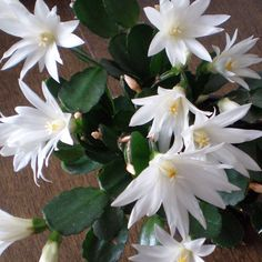"White Easter/Spring Cactus (Rhipsalidopsis hybrid, ""Sirius"") My sister bought one for me, today, and I think its just the prettiest thing! Christmas Cactus Plant, Easter Cactus, Orchid Cactus, Cactus Flower, Flora Flowers, Exotic Flowers, Cacti And Succulents, Cactus Plants, Beautiful Flowers Garden"