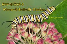 Growing Milkweed Plants for butterfly gardening and raising monarch butterflies. Dream Garden, Home And Garden, Monarch Caterpillar, Flying Flowers, Hummingbird Garden, Garden Planning, Outdoor Gardens, Garden Design, Plants