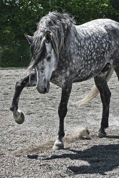 Love love love dapple greys I want this horse so bad!!!!                                                                                                                                                     More