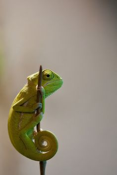 Veiled chameleon by Michael Molthagen Cute Reptiles, Reptiles And Amphibians, Mammals, Nature Animals, Animals And Pets, Cute Animals, Cameleon Art, Beautiful Creatures, Animals Beautiful