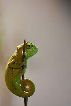 Veiled Chameleon - by Michael Molthagen