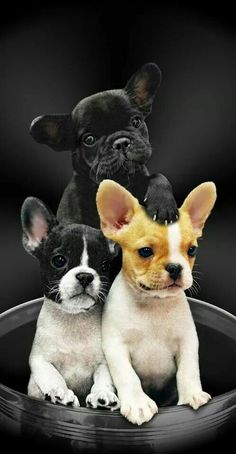 Frenchie Trifecta