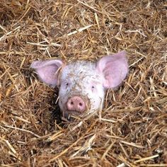 I spy with my little eye a piglet in the straw.so cute Baby Pigs, Pet Pigs, Farm Animals, Funny Animals, Cute Animals, This Little Piggy, Little Pigs, Animal Pictures, Cute Pictures