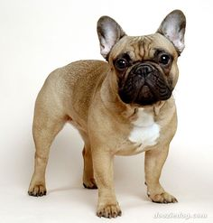 French Bulldog _Desigend by yuchiayeh _Fench bulldog, breed of dog of the non-sporting group, which was developed in France in the later 1800s from crosses between small native dogs and small bulldogs of a toy variety. The French bulldog is a small counterpart of the bulldog, but it has large, erect ears, rounded at the tips, that resemble those of a bat.