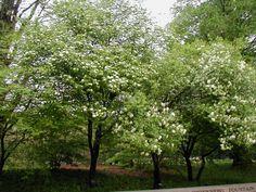 Blackhaw Viburnam, Missouri Botanical Gardens