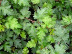 Stephandra incisa.... leaves