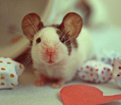 I'm not sure if this is a rat or a mouse, but I think it's a baby dumbo rat <3 awee <3
