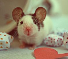 I'm not sure if this is a rat or a mouse, but I think it's a baby dumbo rat <3 awee <3