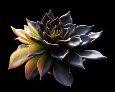 echeveria affinis black knight