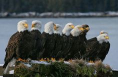 White Wolf : Virginia's bald eagles thriving at a never before seen level after pesticides ban. Love Birds, Beautiful Birds, Animals Beautiful, Cute Animals, The Eagles, Bald Eagles, Wild Life, Aigle Animal, Eagle Pictures