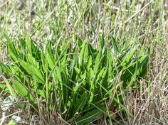 Les plantes sauvages comestibles, suite et fin.