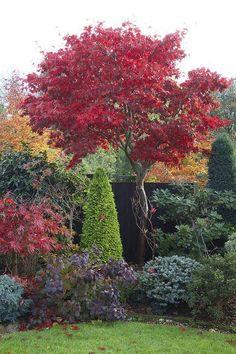 Autumn red foliage of Acer palmatum 'Osakazuki' - Gartengestaltung Acer Palmatum, Landscape Design, Garden Design, Evergreen Landscape, Blue Spruce, Foliage Plants, Autumn Garden, Small Trees, Front Yard Landscaping