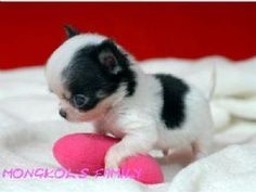 long haired teacup chihuahua puppies for sale - Google Search