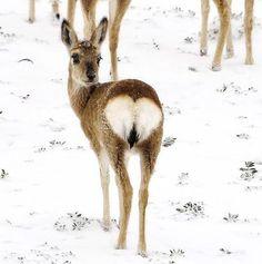 Deer heart ...