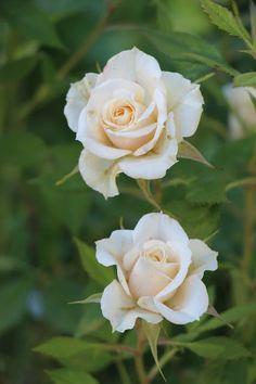 Необычные Цветы, Красивые Сады, Цветочные Фоны, Цветочные Букеты, Фламинго Обои, Азиатский Сад, Сад Камней, Розовые Почки, Сахарные Цветы