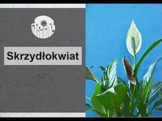 Dlaczego skrzydłokwiat nie kwitnie lub ma zielone kwiaty ? Co zrobić, żeby skrzydłokwiat zakwitł? - YouTube Indoor Plants, Plant Leaves, Make It Yourself, Green, Youtube, How To Make, Instagram, Life, Inside Plants