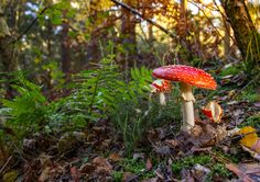https://flic.kr/p/MYBw5J | Fly Agaric (Amanita muscaria) | Was very grateful to a local dog-walker who saw me rolling araound on the floor taking fungi photos, and pointed me in the direction of a few red and white toadstools nearby. Lovely examples and very lucky to find this one in fairly decent nick, especially considering how badly nibbled the small emerging bulbs were.  Love the large annulus on this specimen, the remnants of the partial veil that covered the gills as it developed.