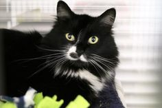 Fuzz Fuzz is available for adoption at Seattle Humane http://www.seattlehumane.org/adoption/cats