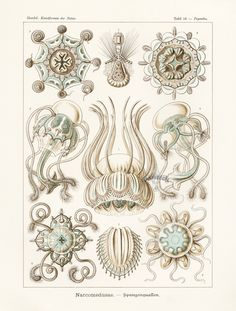 Narcomedusae, Jellyfish from Haeckel Antique Prints 1899