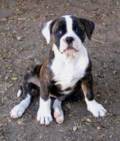 information about the lovably naughty great dane boxer mix breed dogs pinterest. Black Bedroom Furniture Sets. Home Design Ideas