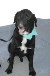 Toby is an adoptable Labrador Retriever Dog in San Diego, CA. Meet Extremely Sweet & Mellow Toby! He is a WONDERFUL dog and is so mellow and peaceful, yet loves to play, but settles in nicely in the h...