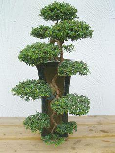 Chin.Ulme ( Ulmus Parvifolia )