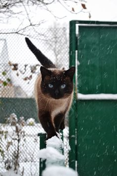What a beautiful Siamese kitty with the big blue eyes plus look at the balance walking in top of that fence.