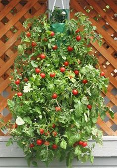 Cherry Tomato Hanging Bag More On Tomatoes Http Www
