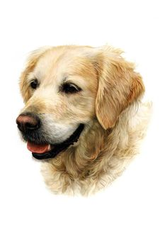 Dogs in Art at the StockBridge Gallery - Portraiture Sample of Golden Retriever in Coloured Pencil by Aron Gadd, Portraiture Sample Not for Sale (http://www.dogsinart.com/products/Portraiture-Sample-of-Golden-Retriever-in-Coloured-Pencil-by-Aron-Gadd.html)