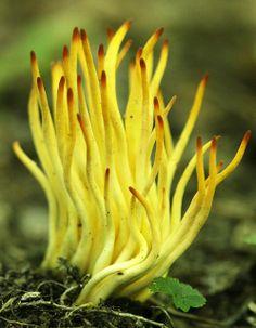Ramariopsis fusiformis by mwprosser, via Flickr