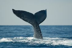 See the Humpback whale migration / Kona, Hawaii Need A Vacation, Vacation Spots, Humpback Whale Migration, Kona Hawaii, Blue Hawaii, All About Hawaii, Places Ive Been, Great Places, Save The Whales