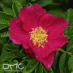 Red Rugose rubra (rosa rugosa rubra) seeds. Edible and useful fruits -Height - 4'-8' / 1.2m - 2.4m Spread - 4'-8' / 1.2m - 2.4m Plant type - Shrub Vegetation type - Decidouos Exposure - Full Sun, Partial Sun Soil PH - Acidic, Neutral Soil type - Loam, Sand, Well Drained Water requirements - Drought Tolerant, Average Water Care level - Easy Landscape uses - Edible, Feature Plant, Foundation, Hedges, Mixed Border, Screening / Wind Break Germination rate - 80% Leaf / Flower color - Green, Dark…