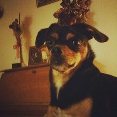 Zeus, 3yr old Chihuahua-Minpin