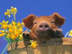 pig in a basket :-)