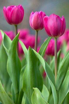 Tulpen Liebe ❤ Spring