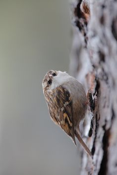 Treecreeper        (photo by phalalcrocorax)