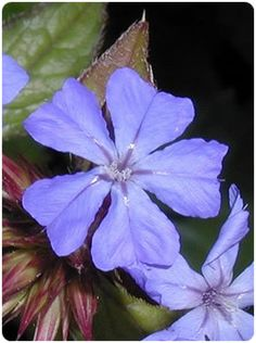 Flores de Bach - Cerato - Ceratostigma