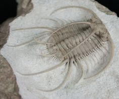 "The extremely rare Boedapsis is arguably the most spectacular trilobite fossil in the world. It is a ""dream trilobite"" from many trilobite and fossil collectors. Not only are they very rare, but they take nearly a month of preparation time (100-200 hours) by a master trilobite preparitor to complete. It's 2.1"" long and artistically displayed on a 5x4 inch chunk of matrix."