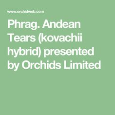 Phrag. Andean Tears (kovachii hybrid) presented by Orchids Limited