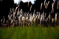 #2 in a series of three. Native Florida grasses, 2014.
